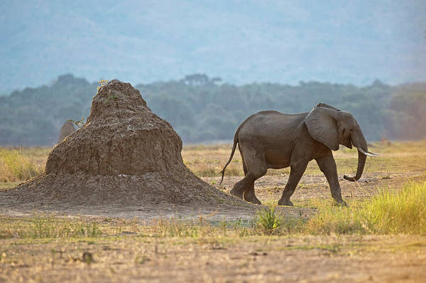African Elephant Photograph - African Elephant Alongside Termite Mound by Tony Camacho