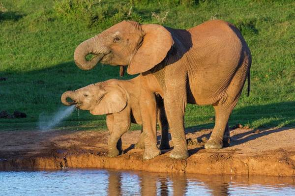 African Elephant Photograph - African Elephant And Calf Drinking by Peter Chadwick