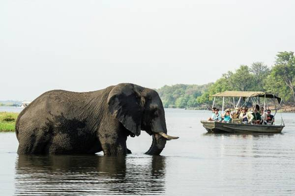 Chobe National Park Wall Art - Photograph - African Elephant And Tourists by Peter Chadwick