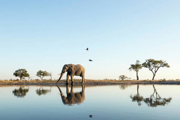 Beauty In Nature Photograph - African Elephant At Water Hole, Botswana by Paul Souders