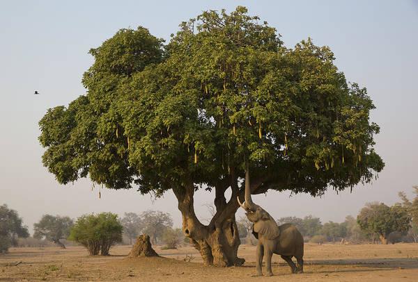 Dicot Wall Art - Photograph - African Elephant Bull Browsing by Jez Bennett