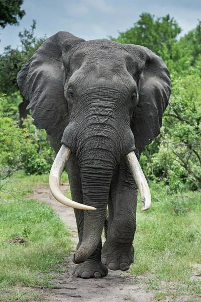 African Bush Elephant Photograph - African Elephant Bull With Large Tusks by Tony Camacho/science Photo Library