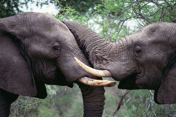 Wall Art - Photograph - African Elephant Bulls Fighting by Peter Chadwick/science Photo Library