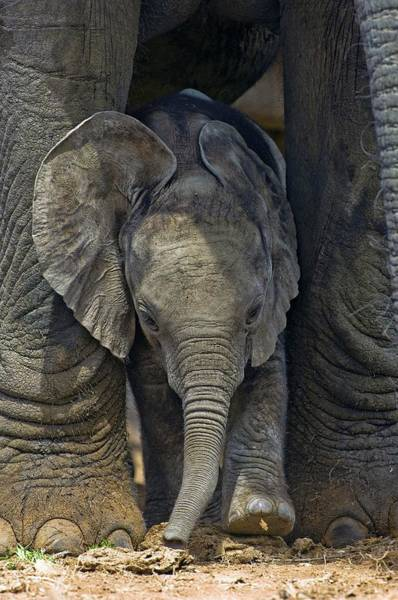 Big Five Photograph - African Elephant Calf by Tony Camacho/science Photo Library