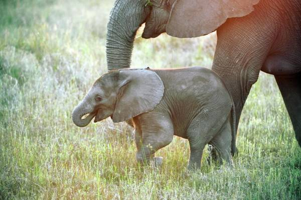 Big Five Photograph - African Elephant Calf With Its Mother by Dr P. Marazzi/science Photo Library