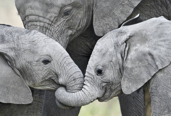 Wall Art - Photograph - African Elephant Calves Loxodonta by Panoramic Images