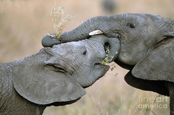 Maasai Photograph - African Elephant Calves Playing  by Yva Momatiuk and John Eastcott