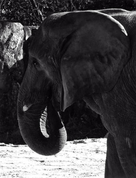 Photograph - African Elephant by Chris Flees