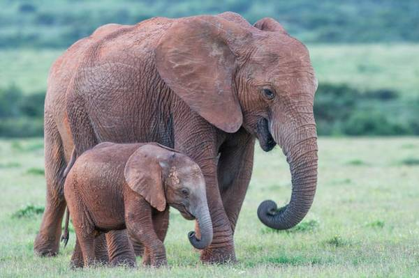 African Elephant Photograph - African Elephant Cow Walking With Calf by Peter Chadwick