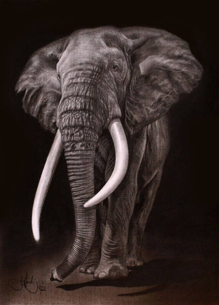 African Animal Drawing - African Elephant Drawing by John Harding