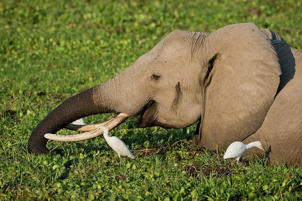 African Elephant Photograph - African Elephant Feeding Alongside Egrets by Tony Camacho