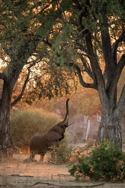 African Elephant Photograph - African Elephant Feeding At Dawn by Tony Camacho