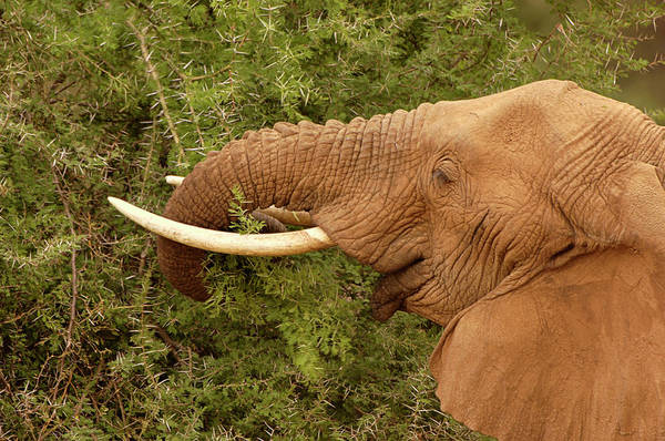 Africana Photograph - African Elephant Feeding by Dr P. Marazzi/science Photo Library