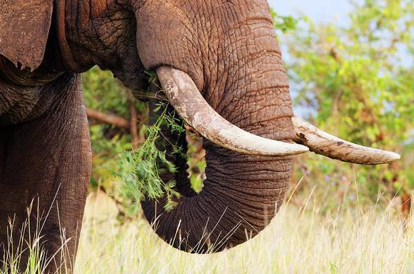 African Elephant Photograph - African Elephant Feeding by Peter Chadwick/science Photo Library