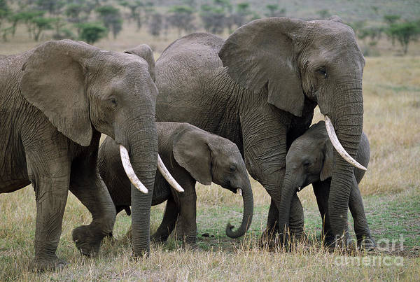 Wall Art - Photograph - African Elephant Females And Calves by Yva Momatiuk and John Eastcott