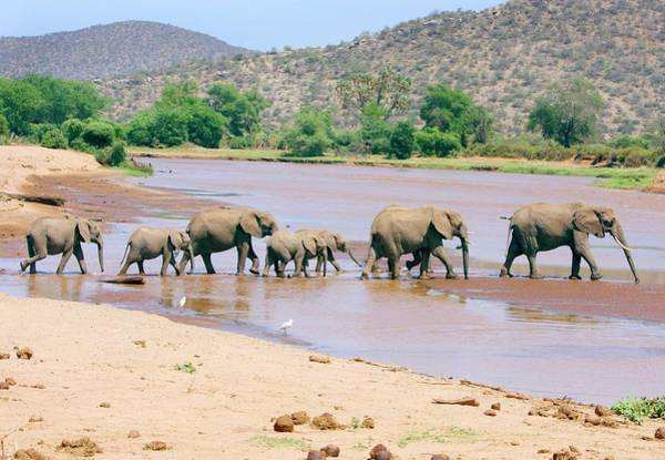 Africana Photograph - African Elephant Herd Crossing A River by John Devries/science Photo Library