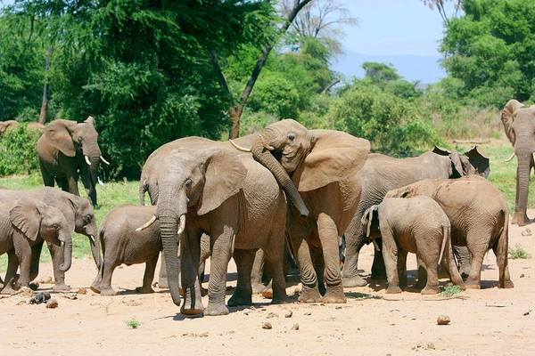 Africana Photograph - African Elephant Herd by John Devries/science Photo Library