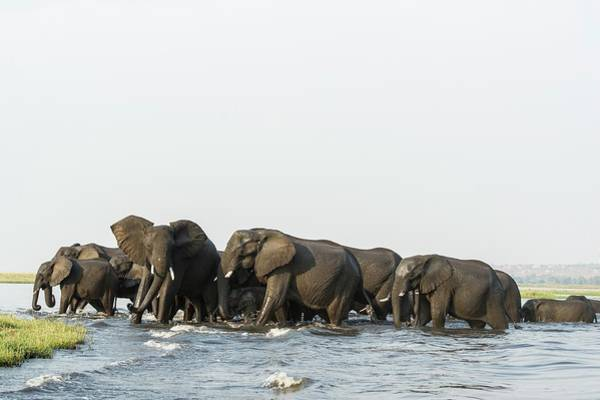 African Elephant Photograph - African Elephant Herd Swimming by Peter Chadwick