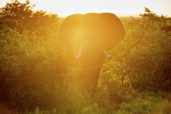 Wall Art - Photograph - African Elephant  Loxodonta , Kruger by Remsberg Inc