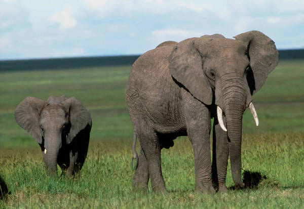 Baby Cow Photograph - African Elephant (loxodonta Africana) Cow And Calf by William Ervin/science Photo Library