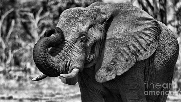 Photograph - African Elephant by Mareko Marciniak