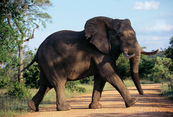 African Bush Elephant Photograph - African Elephant by Peter Menzel/science Photo Library