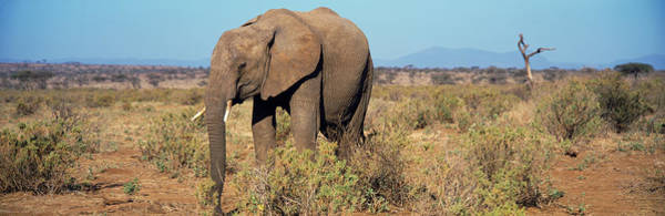 Wall Art - Photograph - African Elephant Samburu Kenya by Animal Images