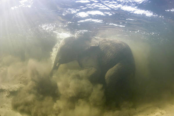 Africana Photograph - African Elephant Swimming by Peter Scoones/science Photo Library