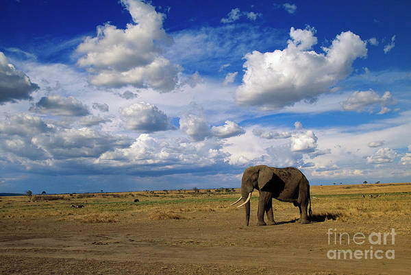 Wall Art - Photograph - African Elephant Walking Masai Mara by Yva Momatiuk John Eastcott