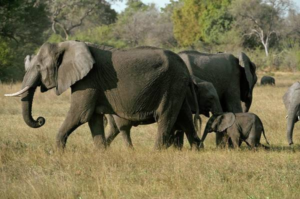 Big Five Photograph - African Elephants And Calf by Dr P. Marazzi/science Photo Library