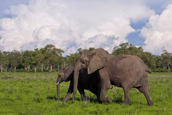 African Bush Elephant Photograph - African Elephants by Dr Andre Van Rooyen/science Photo Library