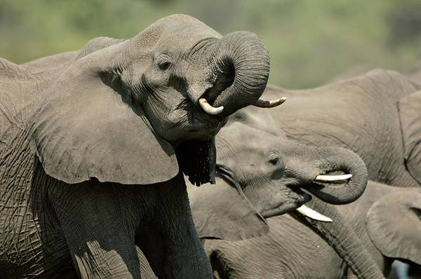 Big Five Photograph - African Elephants Drinking by Dr P. Marazzi/science Photo Library