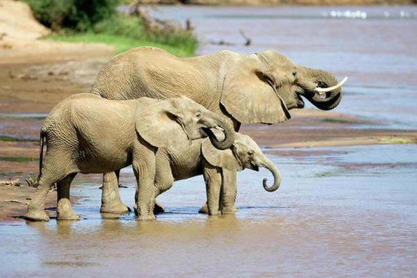 Africana Photograph - African Elephants Drinking by John Devries/science Photo Library