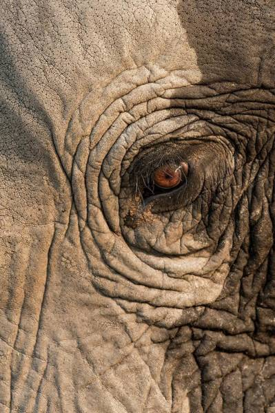 African Bush Elephant Photograph - African Elephant's Eye by Tony Camacho/science Photo Library