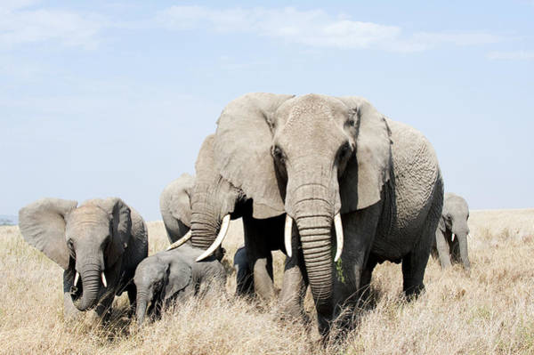 Animal Behavior Photograph - African Elephants In A Forest by Animal Images