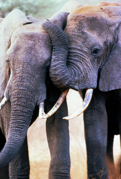 Africana Photograph - African Elephants by Louise Murray/science Photo Library