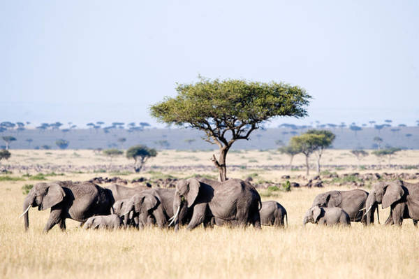 Maasai Photograph - African Elephants Loxodonta Africana by Panoramic Images