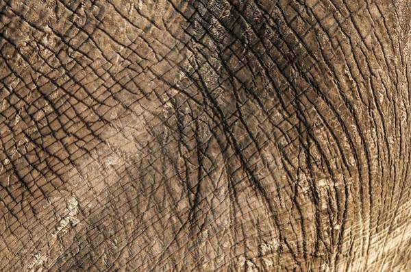 African Bush Elephant Photograph - African Elephant's Skin by Tony Camacho/science Photo Library