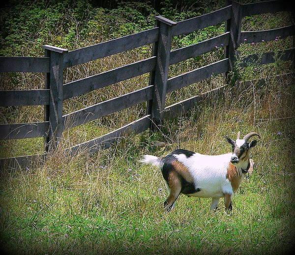 Wall Art - Photograph - African Farm Goat-2 by Jo Anna Wycoff