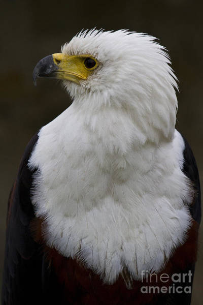 Faunal Photograph - African Fish Eagle 4 by Heiko Koehrer-Wagner