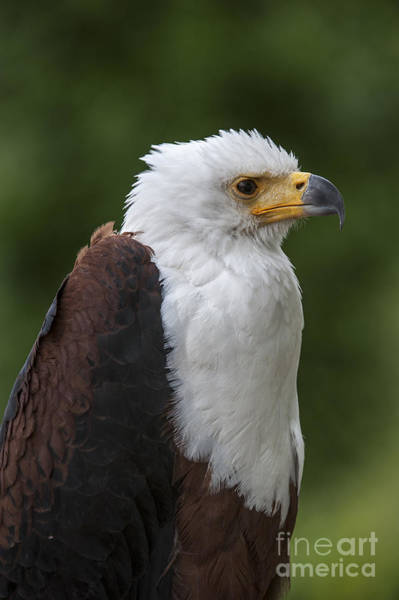 Photograph - African Fish Eagle by Arterra Picture Library