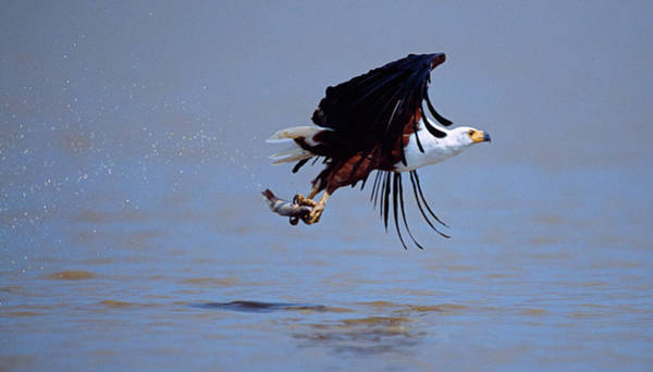 Wall Art - Photograph - African Fish Eagle Haliaeetus Vocifer by Panoramic Images