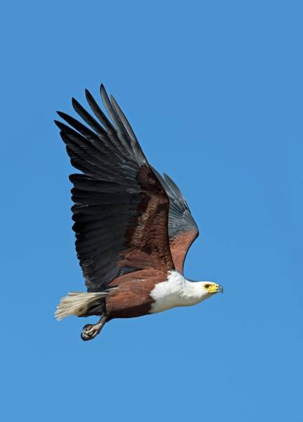 Eagle In Flight Photograph - African Fish Eagle In Flight by Tony Camacho