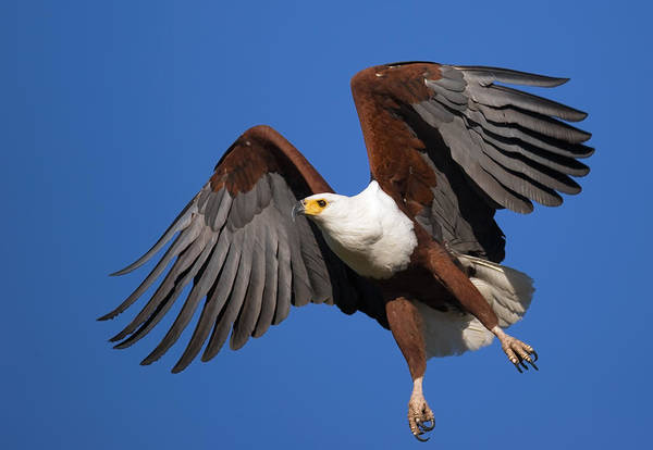 Flying Eagle Photograph - African Fish Eagle by Johan Swanepoel