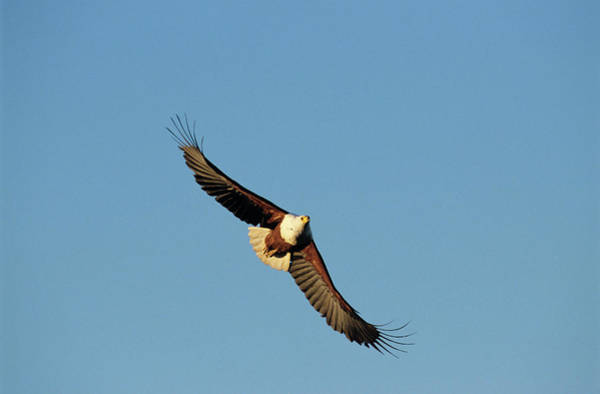 Eagle In Flight Photograph - African Fish Eagle by Tony Camacho/science Photo Library