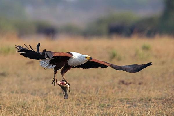 Eagle In Flight Photograph - African Fish Eagle With Prey by Tony Camacho/science Photo Library