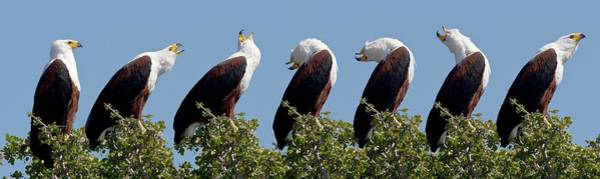 Wall Art - Photograph - African Fish Eagle's Calling Sequence by Steve Allen/science Photo Library