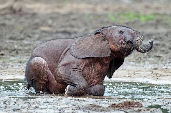 African Elephant Photograph - African Forest Elephant Calf by Tony Camacho/science Photo Library