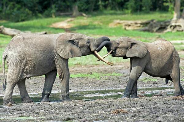 African Elephant Photograph - African Forest Elephants by Tony Camacho/science Photo Library