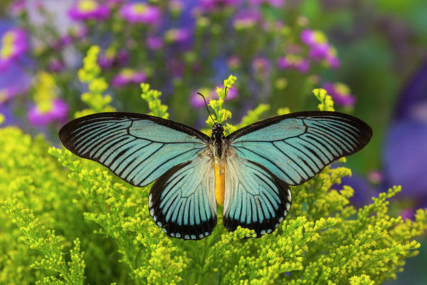 African Daisies Photograph - African Giant Blue Swallowtail by Darrell Gulin